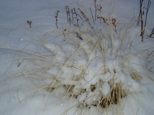 Pennisetum in snow